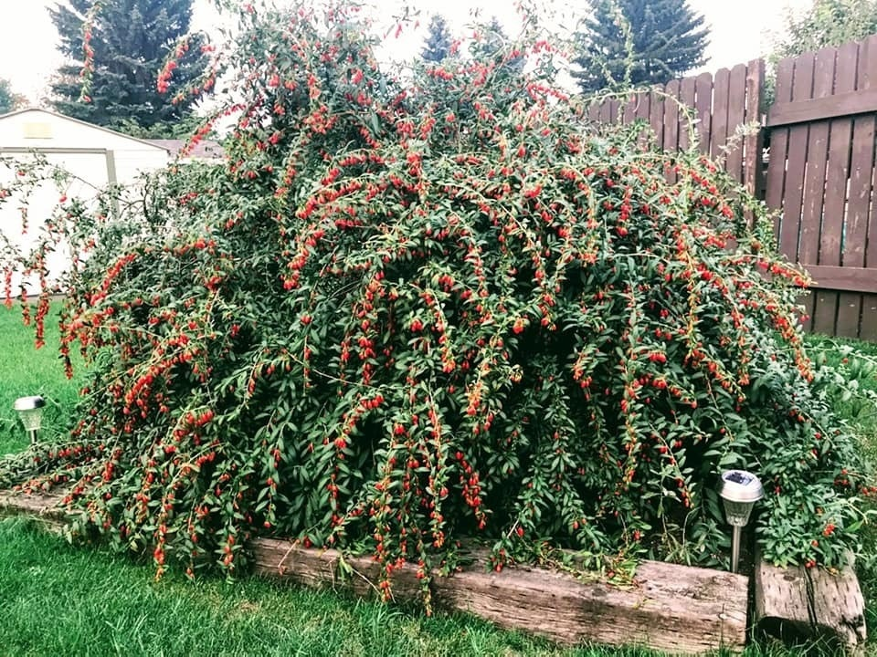 Artist Yong Fei Guan is researching heritage goji berry plants across the city of Edmonton with the hopes of creating a public goji garden.