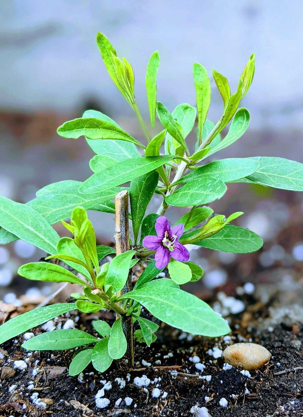 A goji cutting in bloom. Cutting propagated by Yong Fei Guan